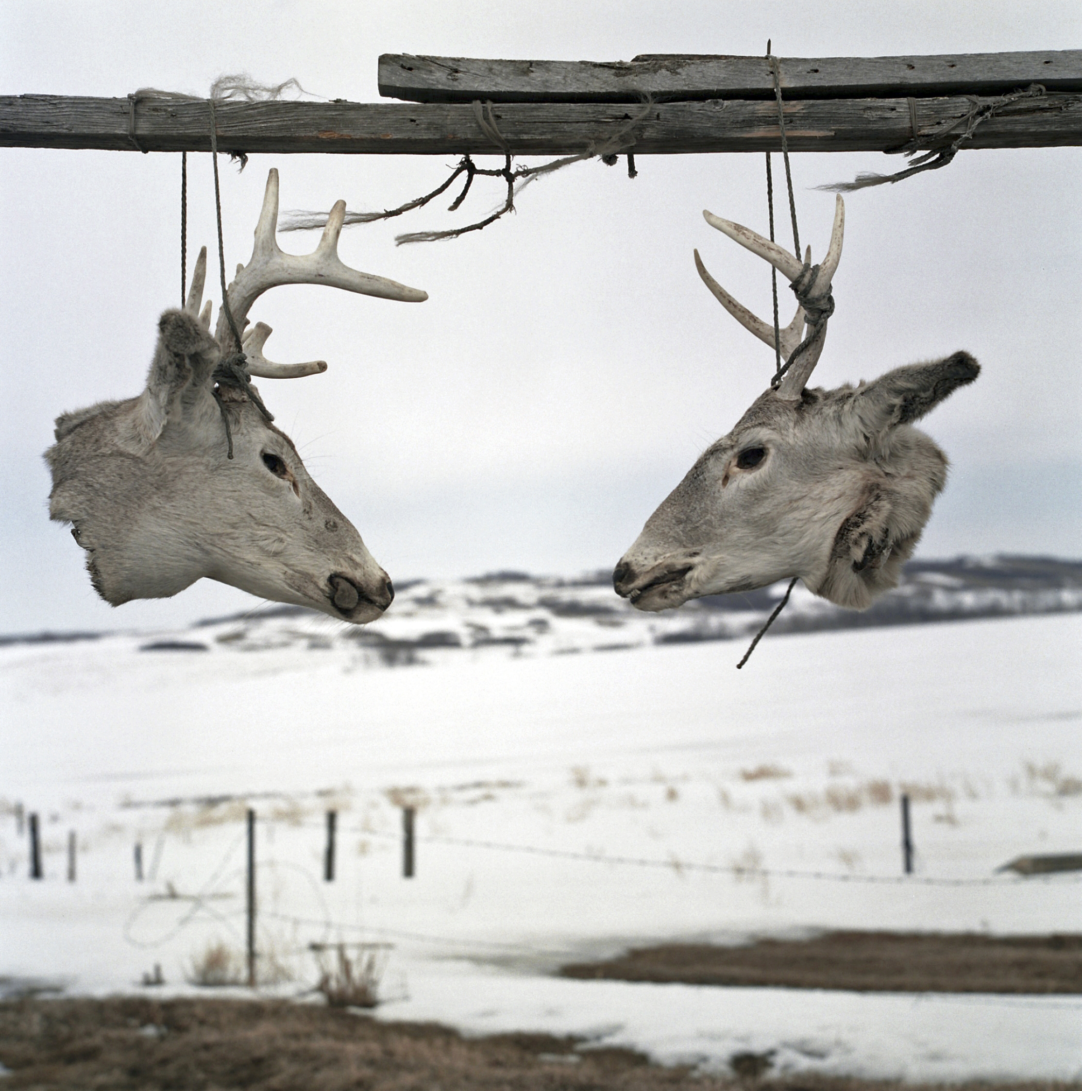 Anna's deer heads. Crow Hill, Spirit Lake Reservation, North Dakota. April, 2013 Photo:Rena Effendi